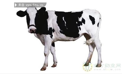 提高奶牛产奶量的技术措施