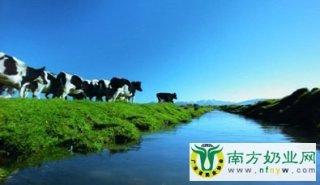 爱迪生荷兰牧场:奶牛幸福 牛奶才好