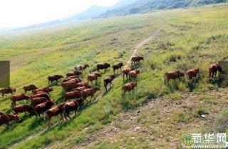 鄱阳湖因干旱成牧场 农民在湖底放牛