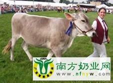 最新科研:瑞士褐牛比荷斯坦奶牛更适合奶酪生产